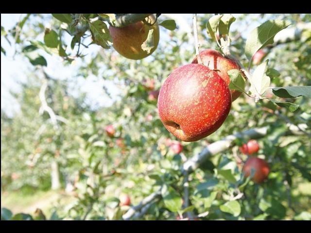 希望のりんごの写真