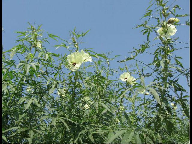 特定非営利活動法人ケナフ等植物資源利用による地球環境保全協議会 (略称:ケナフ協議会)の写真